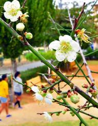 甘い香りを漂わせて風に揺れる梅の花=4日午後、西原町・小那覇児童公園(金城健太撮影)