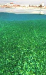 ジュゴンの餌となる海草藻場が広がるキャンプ・シュワブ沖合=写真(伊禮健撮影)。30日午前も、米軍ヘリが辺野古上空を飛び交っていた。