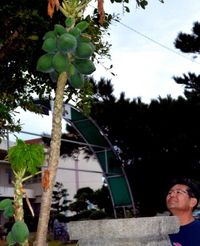 台風にも負けず、登下校を見守るパパイア 沖縄・国頭中学校