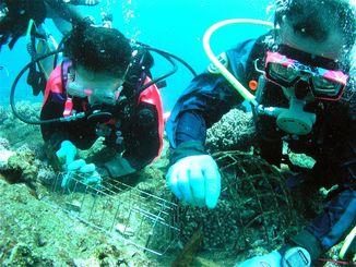 サンゴの移植作業(資料写真)