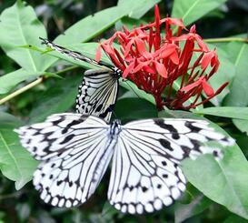 沖縄の「県蝶」に制定されたオオゴマダラ=3月29日、那覇市・ちょうちょガーデン(古謝克公撮影)