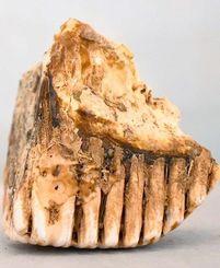アフリカゾウの歯