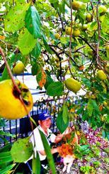 たわわに実った柿の木=21日、那覇市首里石嶺町(下地広也撮影)