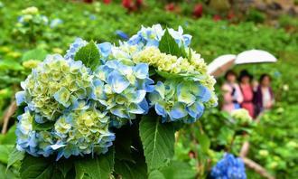 梅雨入りし、鮮やかに咲き始めたアジサイ=17日午後、本部町伊豆味・よへなあじさい園