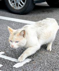 駐車場を歩く猫。車の回りに猫がいるのを見かけたら注意が必要という