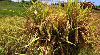 沖縄科学技術大学院大学が名護市のほ場で研究している難消化米