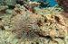 写真5 サンゴを食べるオニヒトデ。2013年12月12日、ハナリ島沖で撮影