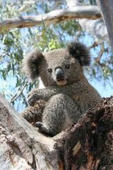 オーストラリア・ニューサウスウェールズ州のコアラ(同州提供・共同)