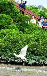 放鳥され、干潟を歩き回った後、飛び立つクロツラヘラサギ=日、豊見城市・漫湖(田嶋正雄撮影)
