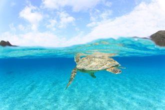 渡嘉敷島 とかしくビーチ(2013年8月撮影)とかしくビーチではアオウミガメの呼吸シーンや食事シーンなどが簡単にスノーケルで見られます。