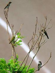 小枝で羽を休める3匹のエゾビタキとメジロ=石垣市内