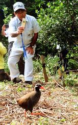 卵からふ化し、成長したヤンバルクイナが森に返るのを見守る上原耕造さん=6日午後2時10分、国頭村奥