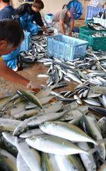 大漁に水揚げされたグルクマを選別する漁師たち=4日、読谷村の都屋漁港