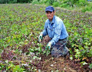 紅イモタルトの需要減少で今後の取引を心配する紅イモ農家の山内武光さん=12日、読谷村