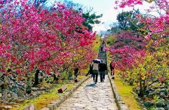 桜まつりの時季には多くの来場者が訪れる今帰仁城跡=今帰仁村今泊(今帰仁村提供)