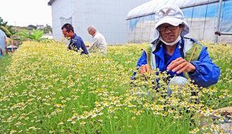 カモミールの花を摘む利用者=8日、糸満市北波平