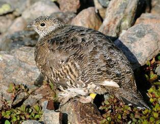 南アルプス北部の放鳥地点から約22キロ離れた場所で撮影された雌のニホンライチョウ=8月24日(環境省提供)