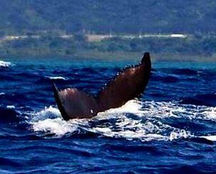 西表島近海を悠々と泳ぐクジラ=竹富町西表島近海(長島裕二さん提供)