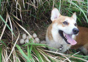 インドクジャクの卵を発見し合図する探査犬(竹富町自然環境課提供)