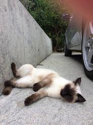 「 はぁ〜飲み過ぎた朝帰りではないよ!笑」飼い猫のチャミです、自宅の車庫にて 気まぐれかまってちゃん