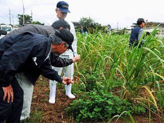 デモンストレーションで畑にフェロモンチューブを設置する関係者=4日、宮古島市の福山地区