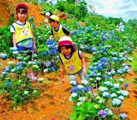 きれいに咲くアジサイの花を眺める園児ら=名護市稲嶺・すえよし花園
