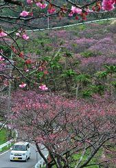 本部町八重岳 白みがかった花びらや濃いピンクのグラデーションが山頂への車道を彩る本部町八重岳の桜。頂上付近はほぼ満開で、訪れた観光客は車を止めて記念撮影を楽しんでいた=29日