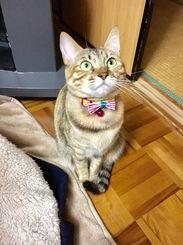 「リボン、似合うにゃ!?」新しい首輪を買ってすぐ。上目遣いで見つめてきたので思わずパシャリ!!