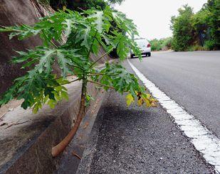 側溝の壁の穴から幹が伸び、葉を付けているパパイア=本部町嘉津宇