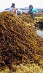 岩場に生えるヒジキを刈り取る漁業関係者=18日午前11時30分ごろ、与那原町・当添漁協近くの海岸(松田興平撮影)