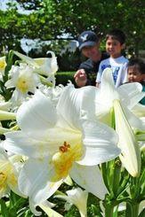 初夏の日差しを浴び、満開になった大石公園のテッポウユリ=4日午前、那覇市識名(長崎健一撮影)