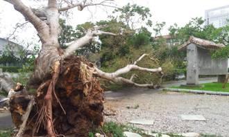 沖縄本島中部の読谷高校では正門横の大木が倒れていた=10月12日