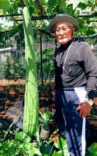 なが~い!140センチ 沖縄原種のヘチマ、名護で実る