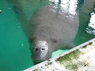 国内飼育下の最高齢、推定42歳で死亡したアメリカマナティーの「ユカタン」(沖縄美ら島財団提供)