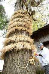 神木に巻き付けられた、竜に似せて編んだわら=8日、鳥取県境港市