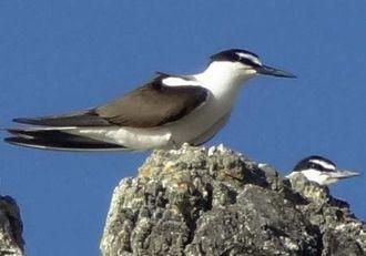 マミジロアジサシ(資料写真、山階鳥類研究所提供)