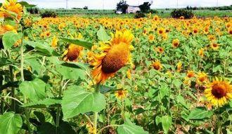 見ごろを迎え、畑一面を黄色に染めるヒマワリ=石垣市