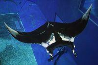 世界最大のエイ、世界で初飼育 沖縄美ら海水族館にジャイアントマンタ【動画あり】