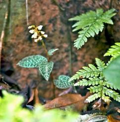 白い花をつけていたカゴメラン=11月15日、名護岳中腹(細川太郎さん提供)
