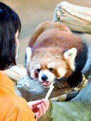 飼育係から差し出されたリンゴをほおばるレッサーパンダのチャル=29日午前、名護市のネオパークオキナワ