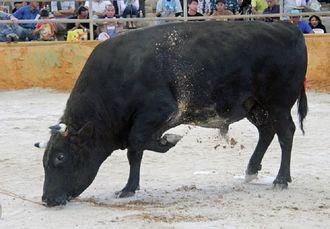 前足で地面を大きくかいて、気合をみせる闘牛