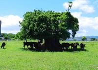 牛も熱中症対策? ガジュマルの木陰にギュウギュウ詰め 沖縄・石垣