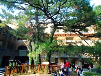 台湾大学にあるリュウキュウマツ。大きく枝を広げ、木陰は学生らの憩いの場になっている=台北市