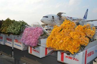 ANAの花卉臨時便で羽田空港へ出荷される県産キク=19日、那覇空港