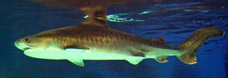 2年前に水槽で産まれたイタチザメ(沖縄美ら海水族館提供)