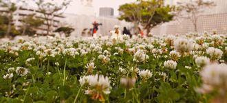 じゅうたんを敷き詰めたように咲くシロツメクサ=5日、那覇市おもろまち・新都心公園(田嶋正雄撮影)