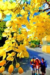 青空の下、鮮やかな花を咲かせたゴールデンシャワーを見上げる小学生=9日午後、那覇市国場(喜屋武綾菜撮影)