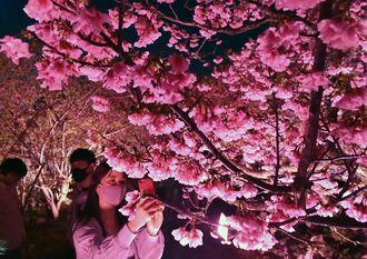 ライトアップされた桜並木で写真撮影を楽しむ人たち=14日、今帰仁城跡公園(古謝克公撮影)