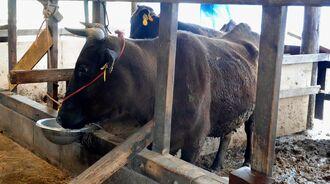 DNA検査の結果を待つ「安福久」の血統の牛=19日、久米島町内