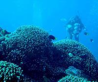 「古代のサンゴ」、新基地建設進む名護に群集 宮崎大グループ、保全意義を指摘